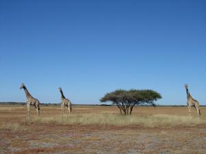 IMG 4476 - Giraffes CKGR