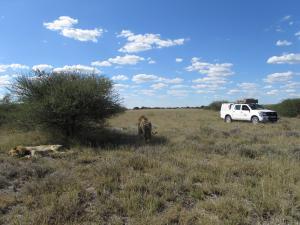IMG 4483 - Kalahari leeuwen CKGR