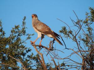 P5158791 - Onbekende roofvogel CKGR