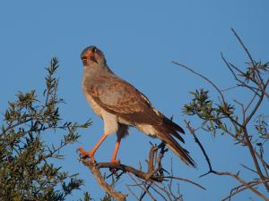 P5158792 - Gekke vogel, CKGR