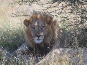P5169056 - Kalahari leeuw CKGR