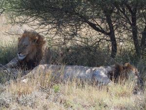 P5169062 - Kalahari leeuwen CKGR