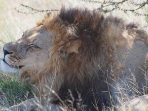 P5169067 - Kalahari leeuw CKGR