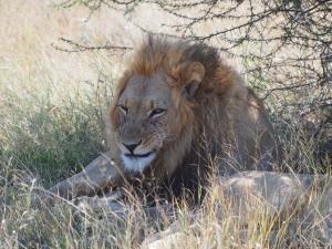 P5169078 - Kalahari leeuw CKGR