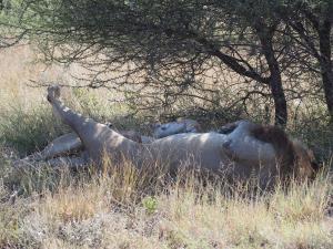 P5169092 - Kalahari leeuwen CKGR