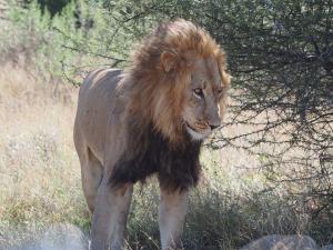 P5169119 - Kalahari leeuw CKGR