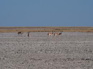 P5189307 - Steenbokken op een bedje van zout