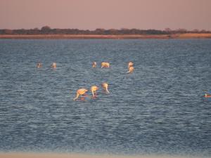P5200092 - Flamingos bij ochtendgloren bij Kukonje Island