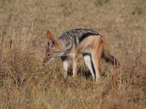 P5230171 - Jakhals Khama Rhino Sanctuary