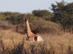 P5230178 - Liggende giraffe Khama Rhino Sanctuary