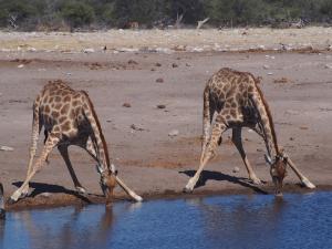 P6131571 - Onhandig drinkende giraffes, Etosha NP