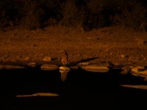 P6131692 - Drinkende hyena Etosha NP