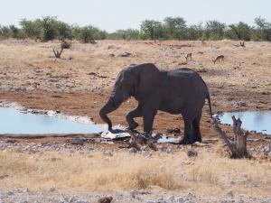 P6141800 - Balletolifant Etosha NP