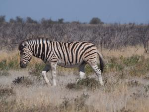 P6141811 - Burchells zebra Etosha NP