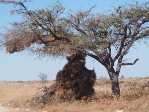 P6141851 - WevervogelflatgebouwSecretarisvogel Etosha NP