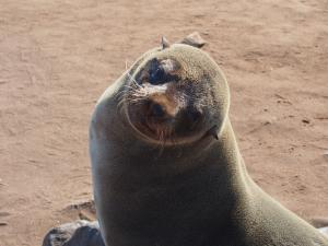 P6252463 - Kaapse pelsrob Cape Cross
