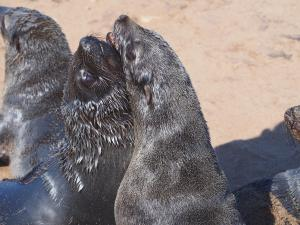 P6252500 - Kaapse pelsrobben Cape Cross