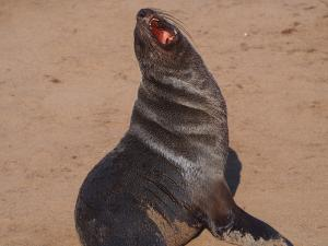 P6252515 - Kaapse pelsrob Cape Cross