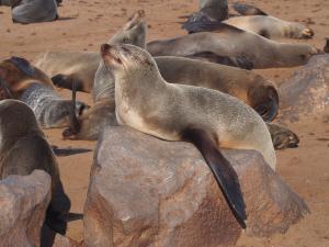 P6252529 - Kaapse pelsrobben Cape Cross