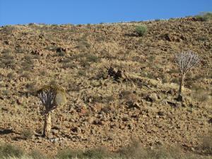 IMG 0536 - Kokerbomen onderweg naar Aus