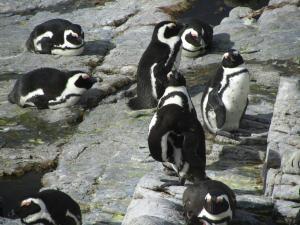 IMG 1726 - Pinguinkolonie Bettys Bay