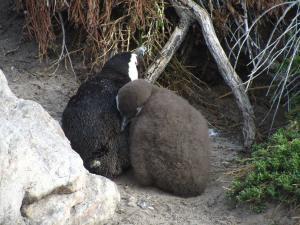 IMG 1742 - Pinguinkolonie Bettys Bay