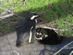 IMG 1761 - Pinguinkolonie Bettys Bay