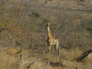 IMG 2328 - Giraffe Kruger NP