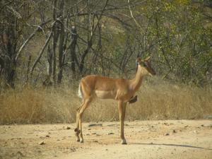 IMG 2351 - Impala met ossenpikkers Kruger NP