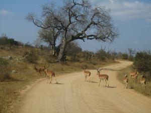 IMG 2362 - Impalas Kruger NP