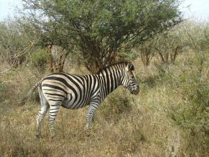 IMG 2372 - Zebra Kruger NP