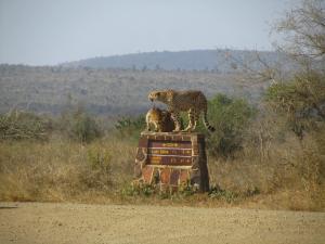 IMG 2373 - Cheetas Kruger NP