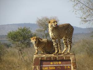 IMG 2375 - Cheetas Kruger NP