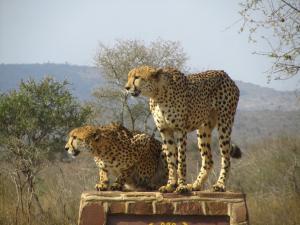 IMG 2378 - Cheetas Kruger NP
