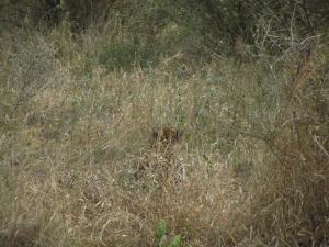 IMG 2387 - Spot de cheeta! Kruger NP