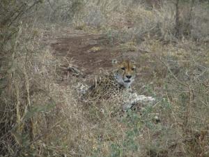 IMG 2392 - Cheeta Kruger NP