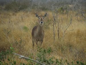 IMG 2449 - Waterbok Kruger NP