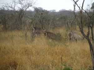 IMG 2450 - Waterbokken Kruger NP