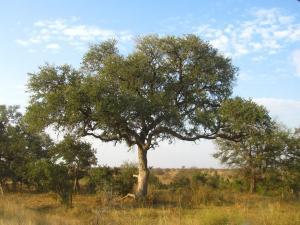 IMG 2474 - Luipaard in boom Kruger NP