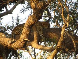 IMG 2487 - Luipaard in boom Kruger NP