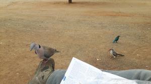 20170730 135312 - Brutale duif Kruger NP