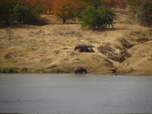 IMG 2506 - Nijlpaarden Kruger NP