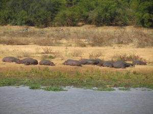 IMG 2518 - Nijlpaarden slaapfeestje Kruger NP