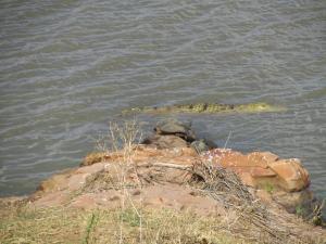IMG 2523 - Krokodil en schildpadden Kruger NP
