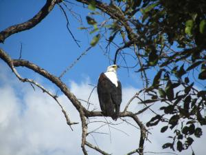 IMG 2577 - Afrikaanse visarend Kruger NP