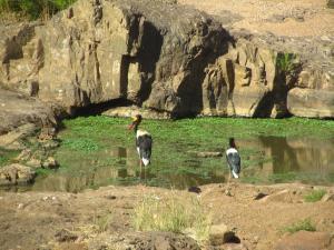IMG 2578 - Zadelbekooievaars Kruger NP