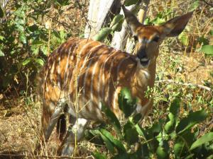 IMG 2586 - Nyala Kruger NP