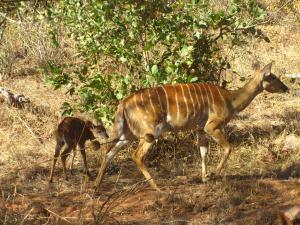IMG 2592 - Nyala met kleintje Kruger NP