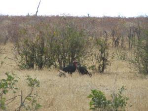IMG 2599 - Zuidelijke hoornraven pikken prooi roofvogel af Kruger NP