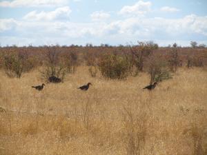 IMG 2604 - Zuidelijke hoornraven Kruger NP